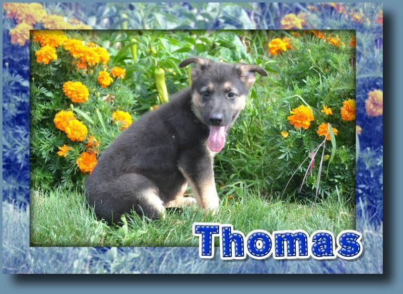 Thomas Male Aca German Shepherd 600 German Shepherd Shepherd Puppies German Shepherd Puppies