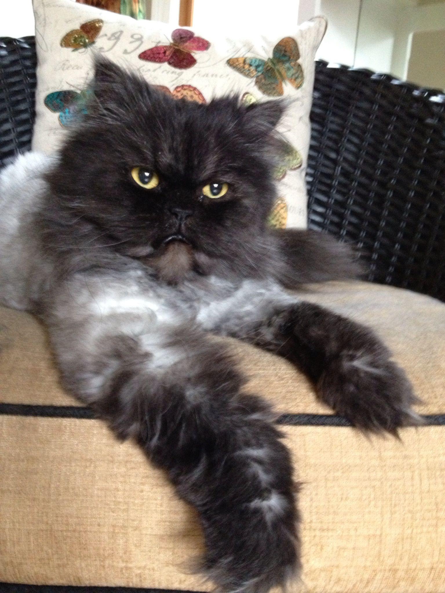 Miss Lily Silver Persian Cat Persian Cat Kitten Breeds Cats