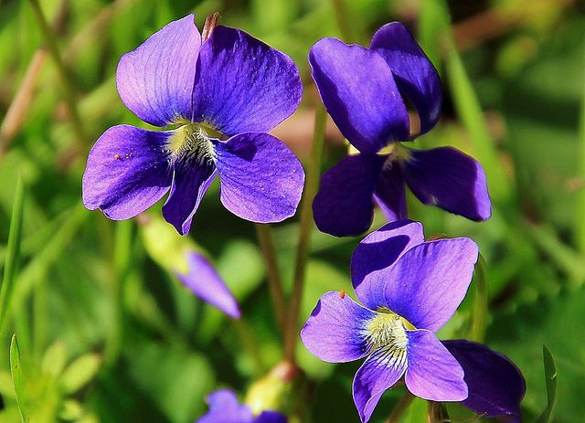 Illinois State Flower The Violet