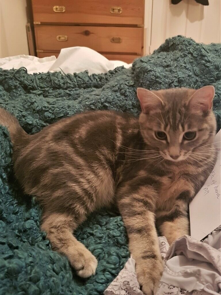 Young Grey Female Cat For Sale In Balham London Gumtree Cats For Sale Cats Cat Lady