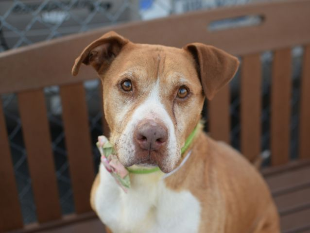 Honey A1044783 Brooklyn To Be Destroyed 8 8 15 People Centered Senior Alert Volunteers Say She Was Dump Dog Adoption Homeless Pets Family Dogs