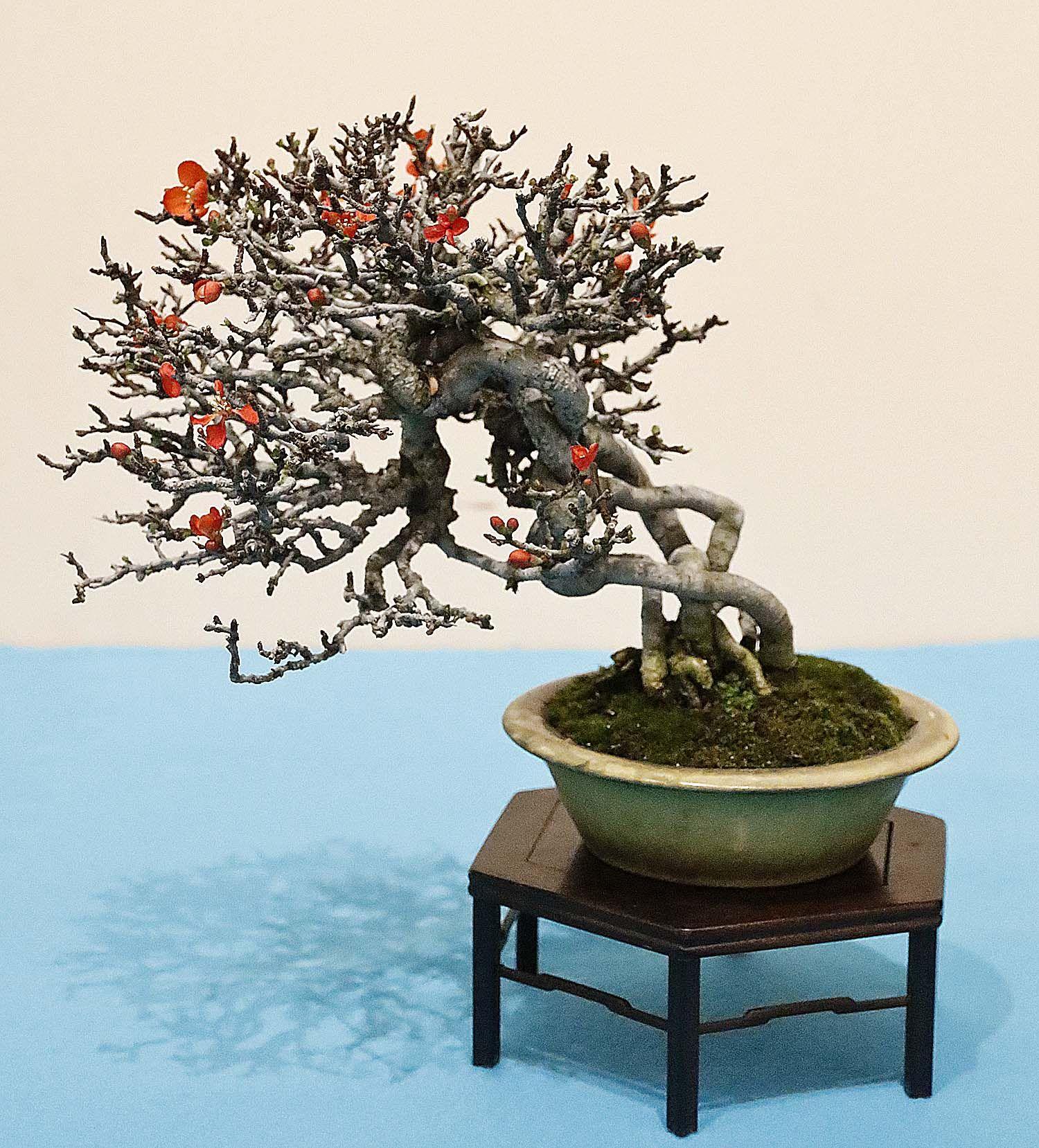 Chojubai Japanese Flowering Quince Chaenomeles Japonica Chojubai Bonsai Bonsai Flower Black Pine Bonsai
