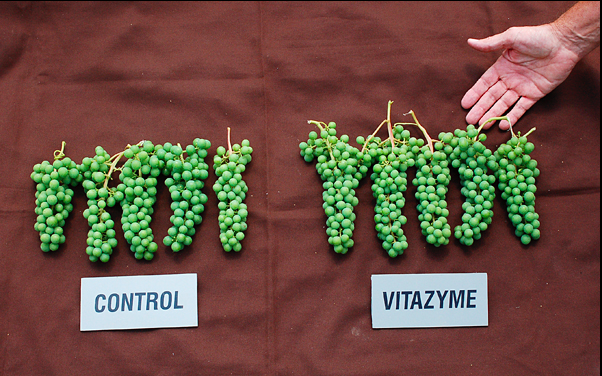 Vitazyme for Grapes is an inexpensive and cost-effective natural soil fertility booster that aides in the production of healthier crops and soils! Ask us about Vitazyme today! http://goo.gl/aNLR1f
