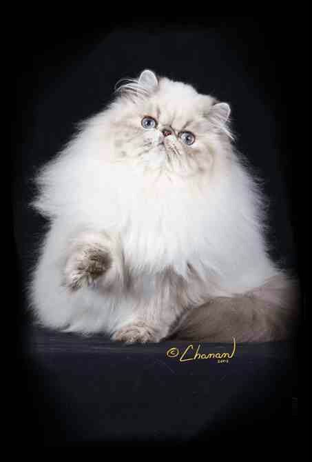 Pin On Purrrfect Persians And Himalayans