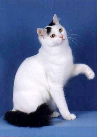 37e9cf38d5 Turkish Van cat black tail white cat