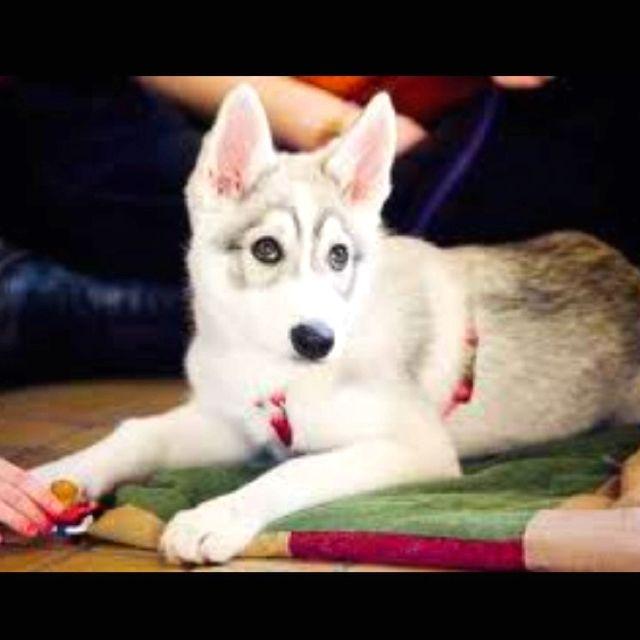 Siberian Husky Mixed With Golden Retriever Love Love Love
