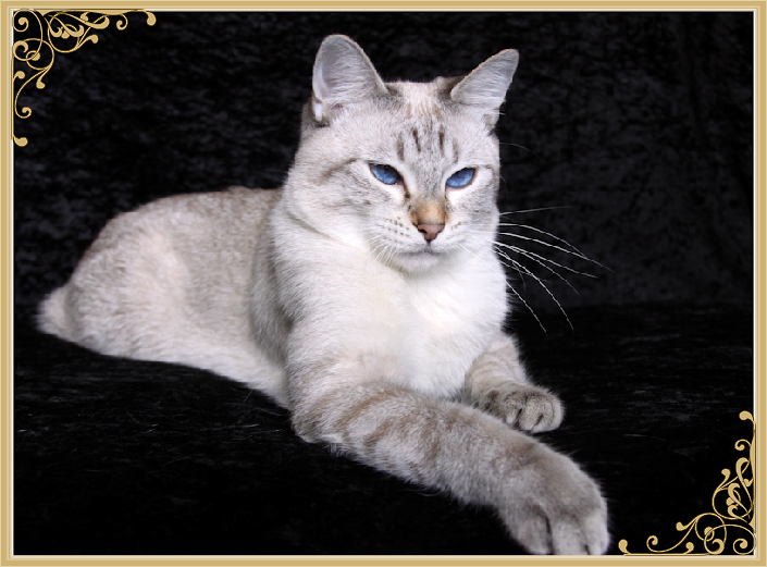 Applehead Kittens For Sale Applehead Siamese Cat Breeders Balinese