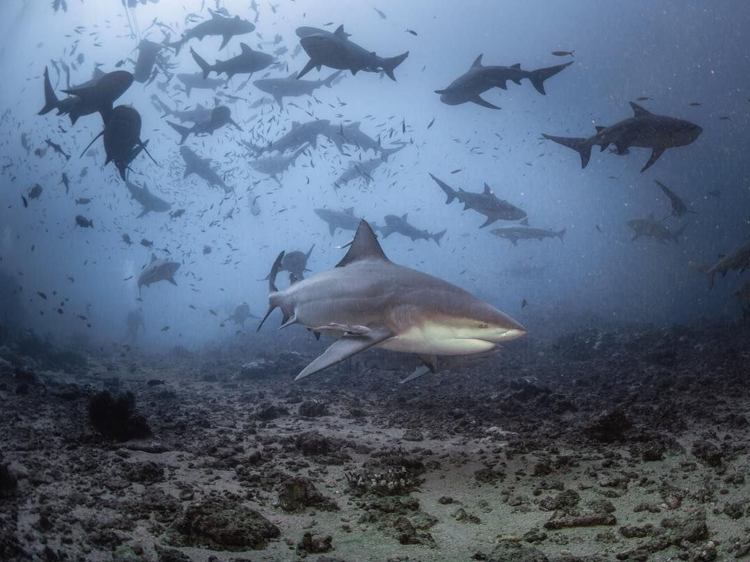Pictured: Capture of the 1,000-pound bull shark lurking ... |Worlds Largest Bull Shark
