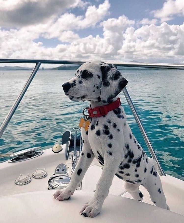 Wonderful Dalmation Chubby Adorable Dog - e0595402043fc182dd63885fb353ea37  Photograph_693196  .jpg