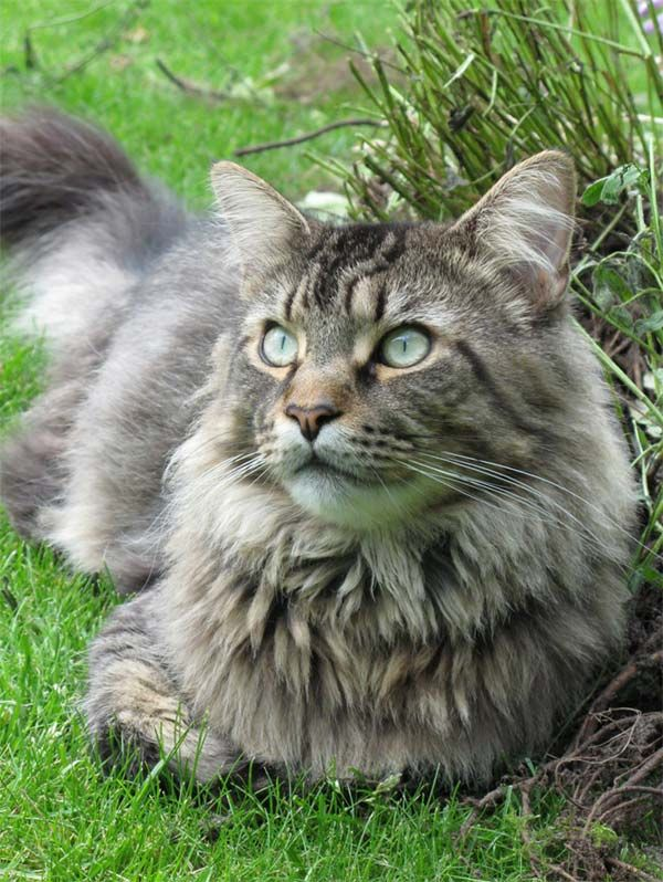 Maine Coon cats are amazing...I have one!