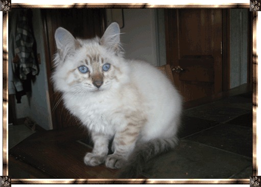 Dolly A Long Hair Bengal Queen From Indian Creek Bengals Bengal Cat Cat Breeder Cats And Kittens