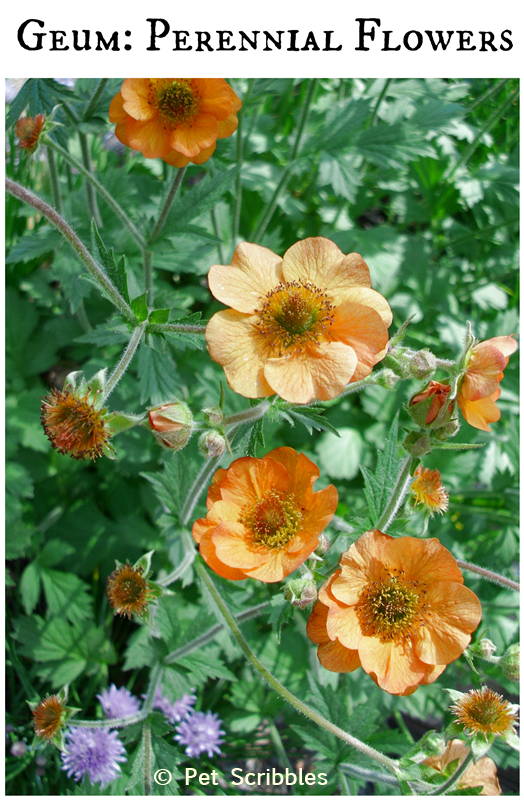 Geum perennial flowers for your garden hometalk gardening geum pretty perennial flowers for your garden the totally tangerine hybrid shown is sterile therefore blooms tons more than the other geum hybrids mightylinksfo