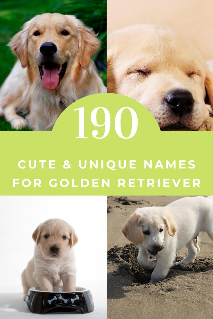 190 Cute Unique Names For Golden Retriever Golden Retriever Names Female Dog Names Female Golden Retriever