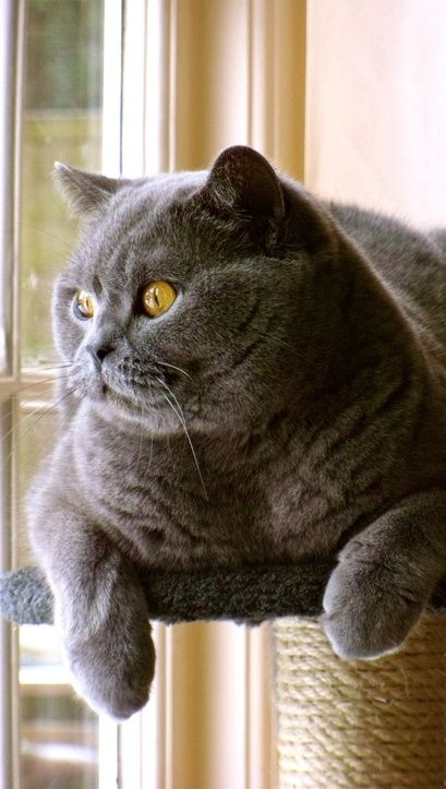 Chunky blue by Alumor Cats