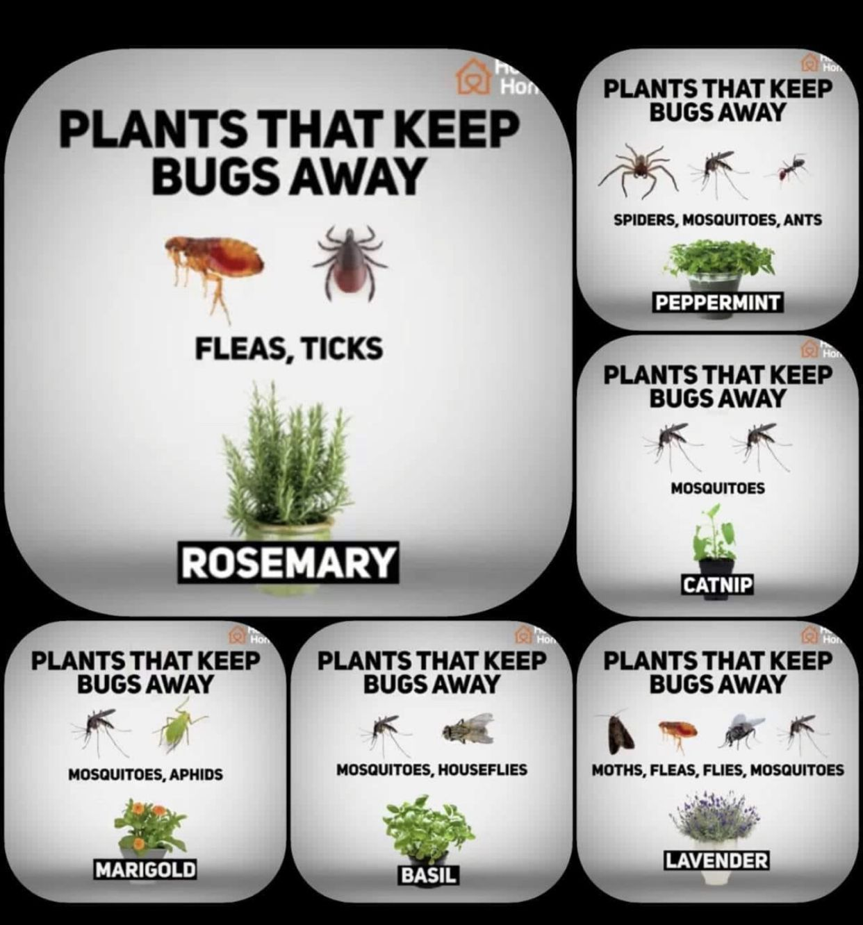 Plants Plants That Keep Bugs Away Mosquito Repelling Plants