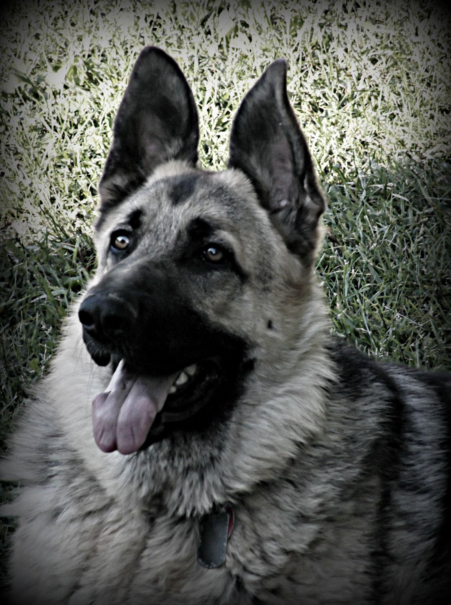 Love Him Tuff Puppy German Shepherd German Shepherd Dogs