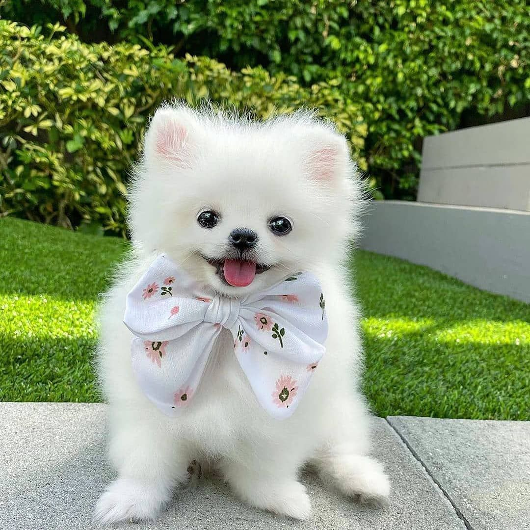 14 Fluffy Facts About Pomeranians Puppies Pomeranian Dog Dogs