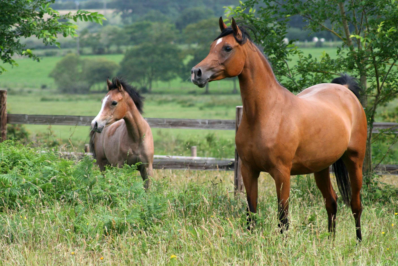Arbres – Chevaux – Clôture – Poils marrons – Prairie