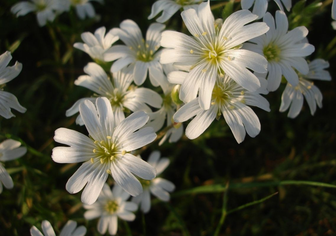 Cerastium tomentosum is known as snow in summer because of the cerastium tomentosum is known as snow in summer because of the masses small white flowersherbaceous izmirmasajfo Images