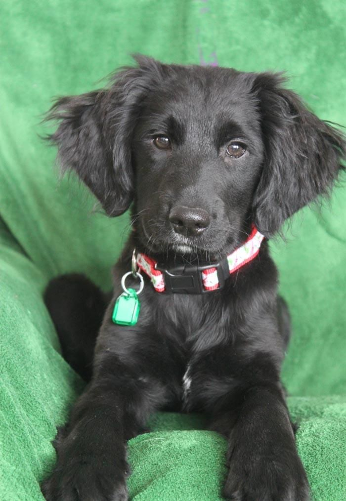 Adopt Wilson On Baby Puppies Dogs Golden Retriever Labrador