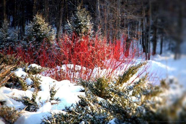Wonderful Bold U0026 Beautiful Bark Combines With Conifers To Create A Brilliant Winter  Landscape. Garden Design