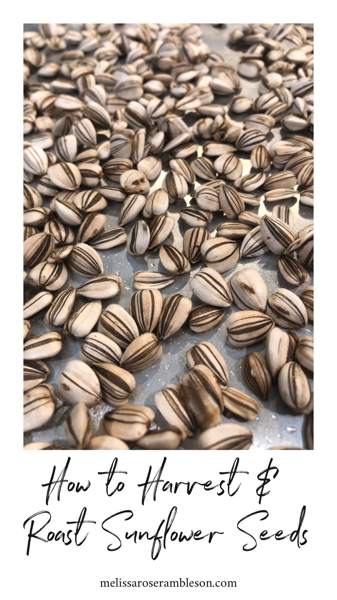 How To Harvest And Roast Sunflower Seeds In 2020 Roasting Sunflower Seeds Roasted Sunflower Seeds Recipe Harvesting Sunflower Seeds