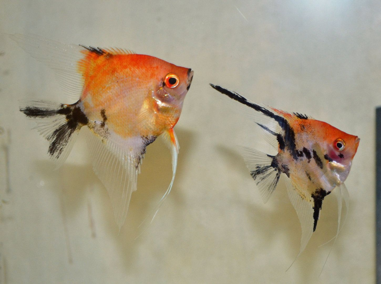 Orange Deluxe Koi Angelfish Angel Fish Angel Fish Tank Fish