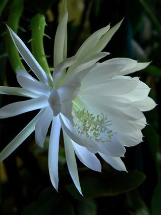 Queen Of The Night The Night Blooming Cereus Is Also Referred To