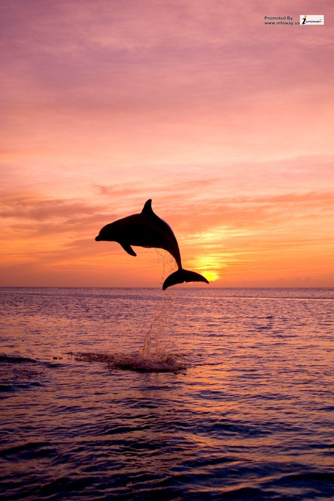 dolphins jumping in the sunset hd wallpaper
