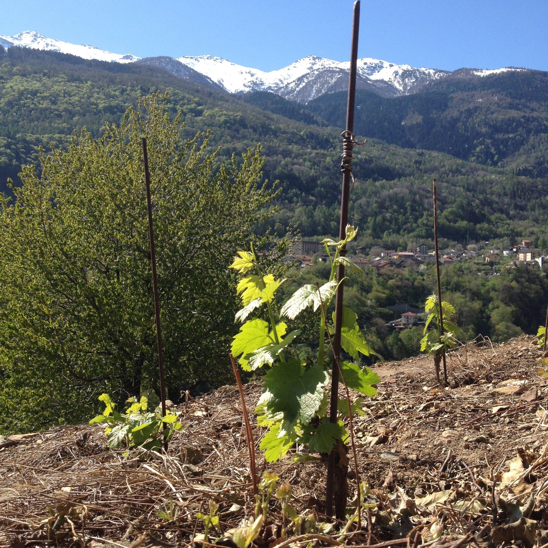 I nostri piccoli piedi che crescono ... vigne CASA RONSIL .