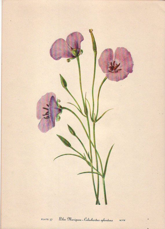 Check out North American Wild Flowers Lilac Mariposa by Mary Vaux Walcott (1860-1940) Smithsonian Institute, 1925 on artsagclassicnature