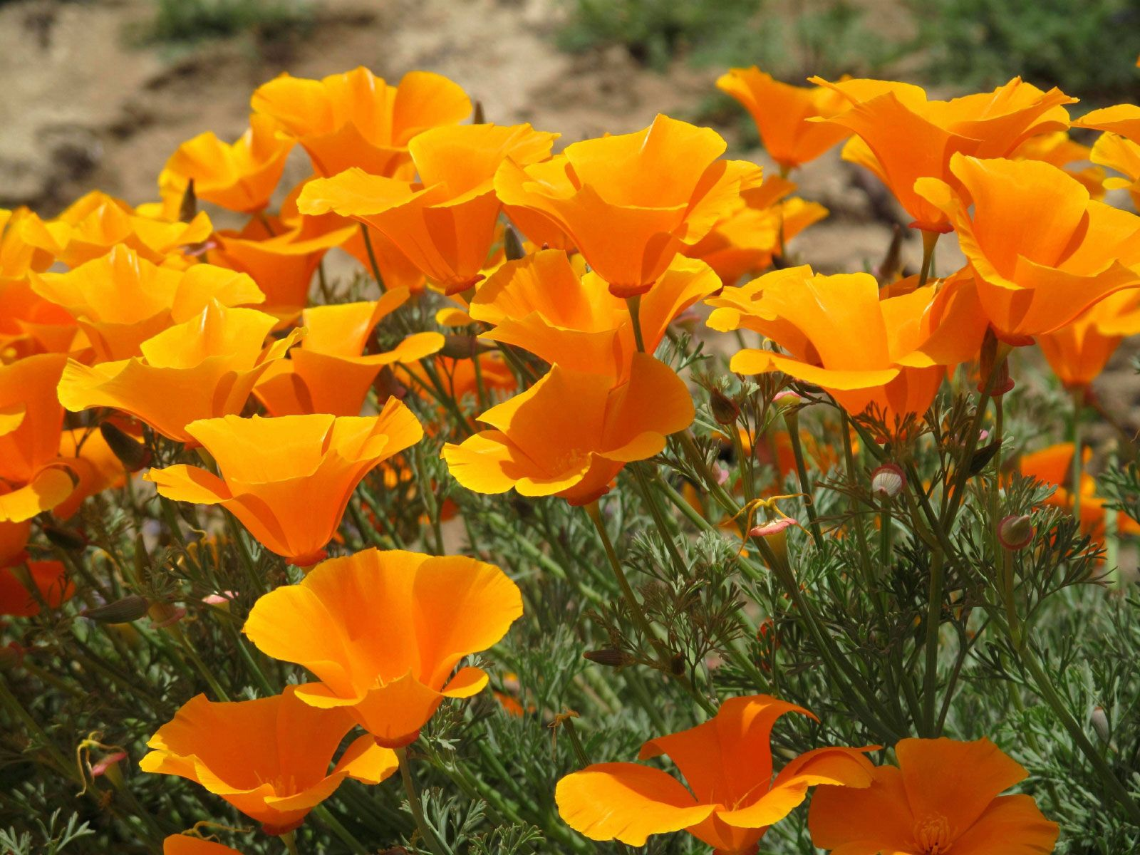Care Of California Poppies How To Grow A California Poppy