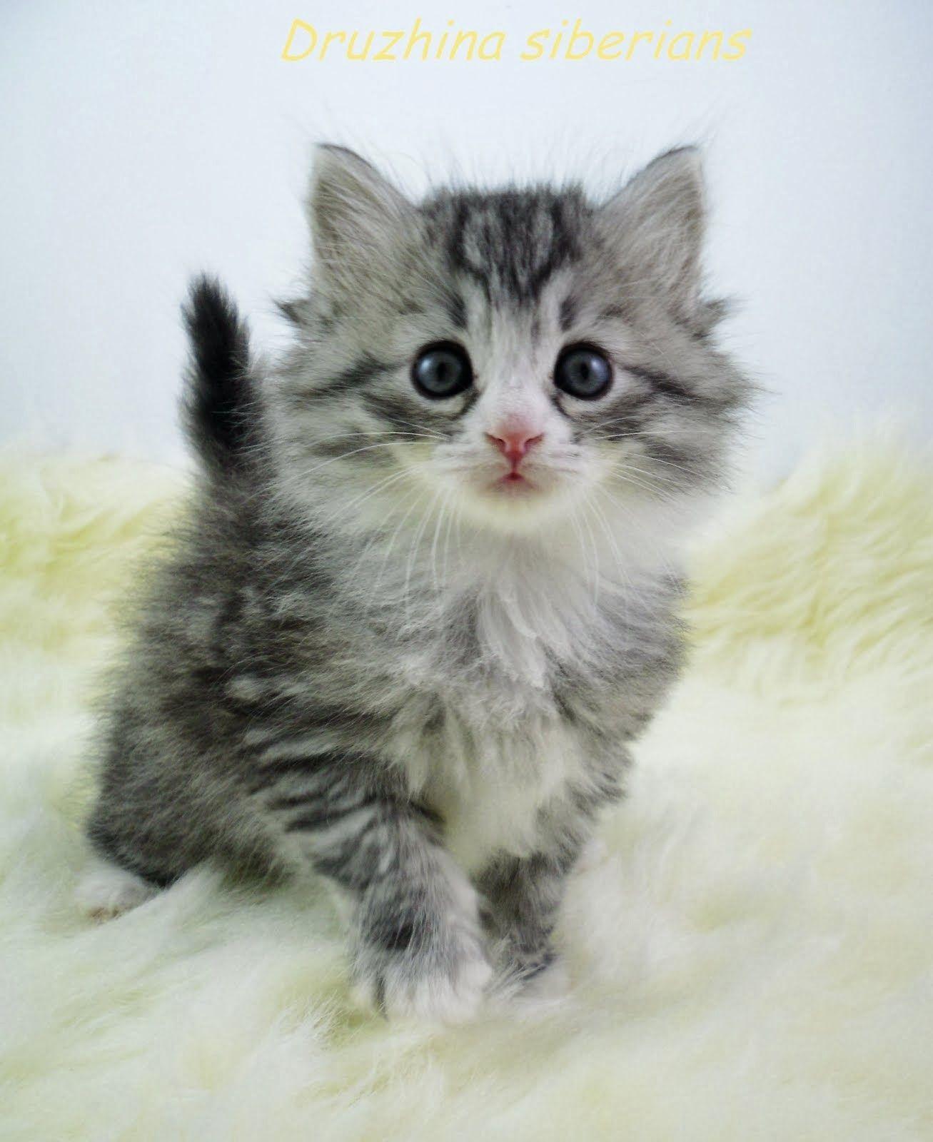 Dark Silver Tabby With White Siberian Kitten Siberian Cat Siberian Kittens Norwegian Forest Cat