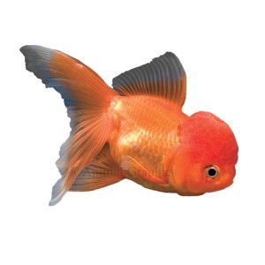 Pin By Valerie Newgard On For The Home Oranda Goldfish Pet Fish Fish