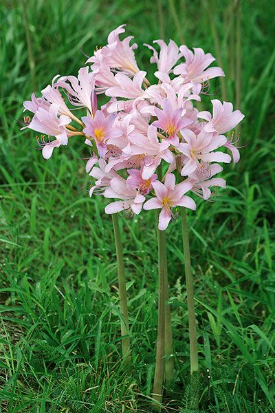 Pro Picks For Summer Blooming Bulbs Lily Plants Lily Seeds Pink Perennials