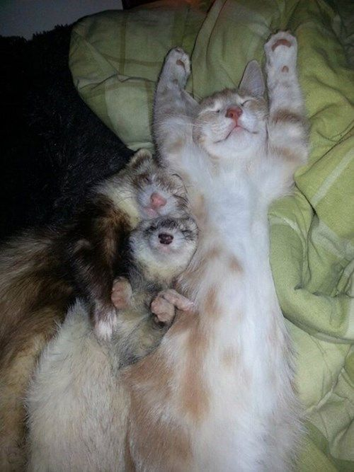 The Ferrets Think They Re Kitties And The Kitty Thinks He S A