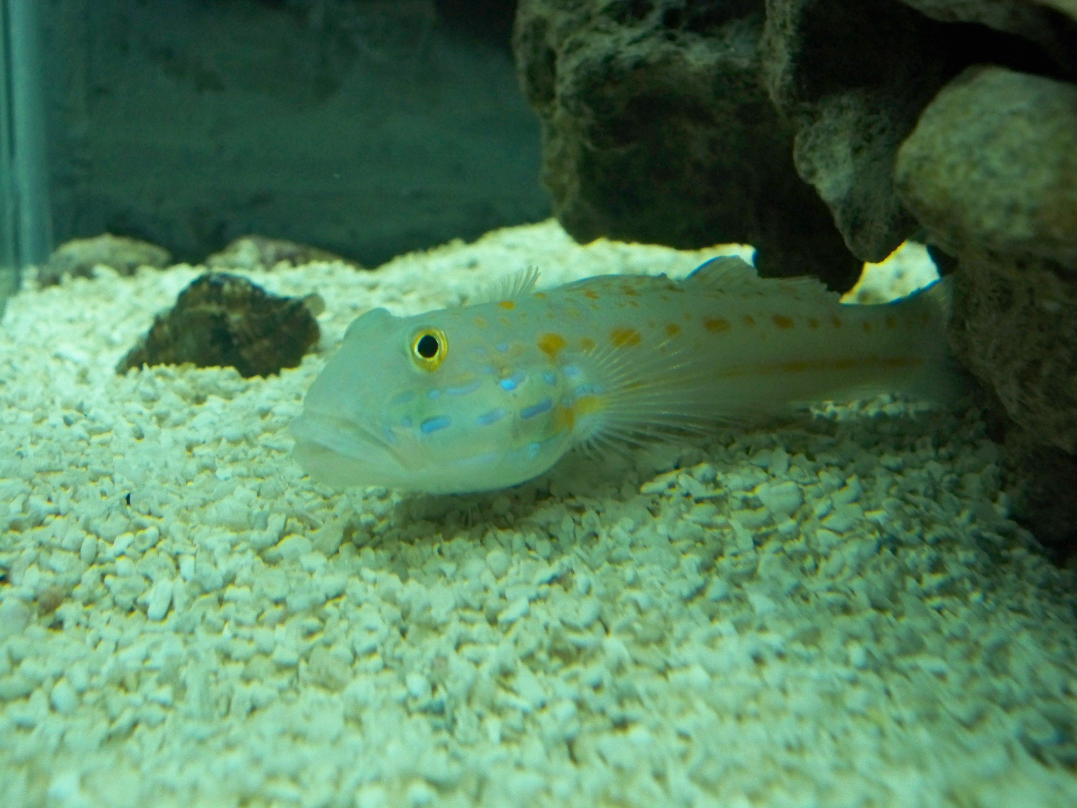 Orange Diamond Sand Sifting Goby Love These Gobies Had A Couple Of