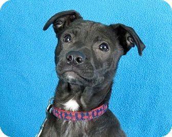 Minneapolis Mn Retriever Unknown Type Boxer Mix Meet Bauer A Puppy For Adoption Puppy Adoption Retriever Pet Adoption