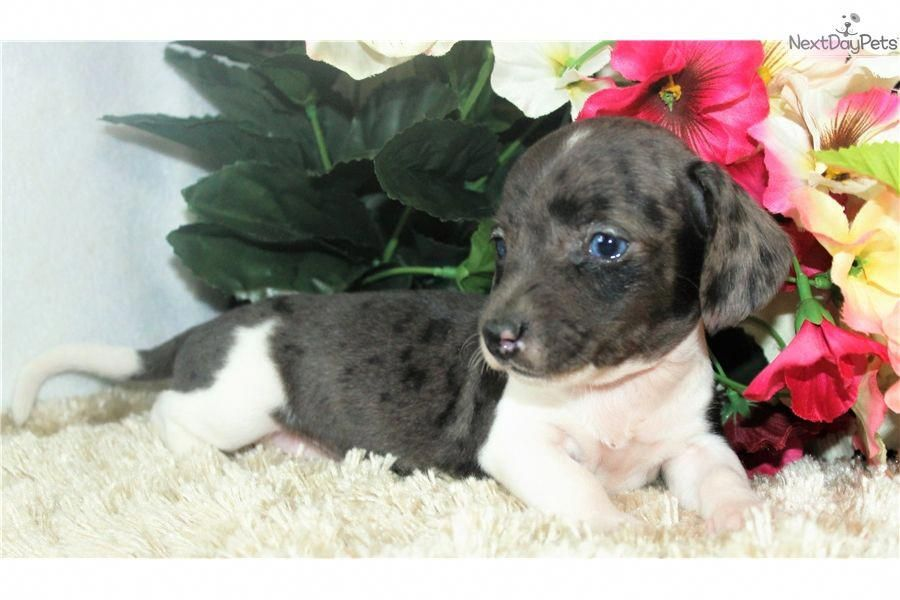 Everything I Love About The Spunky Daschund Pups
