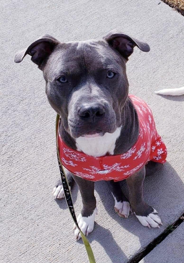 Adopt Zeus on Petfinder in 2020 Dog adoption, Pit dog
