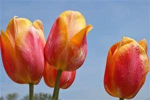 Pink And Yellow Sunshine Tulips Flowers Flowers Tulips