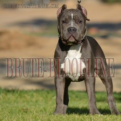 Ryu At 6 Months Brute Bloodline American Bully Pitbulls Www