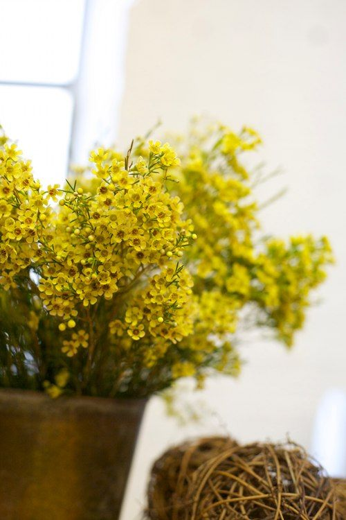 Where Can I Find Wax Flowers For My Casa Wax Flowers Yellow Flowers Planting Flowers