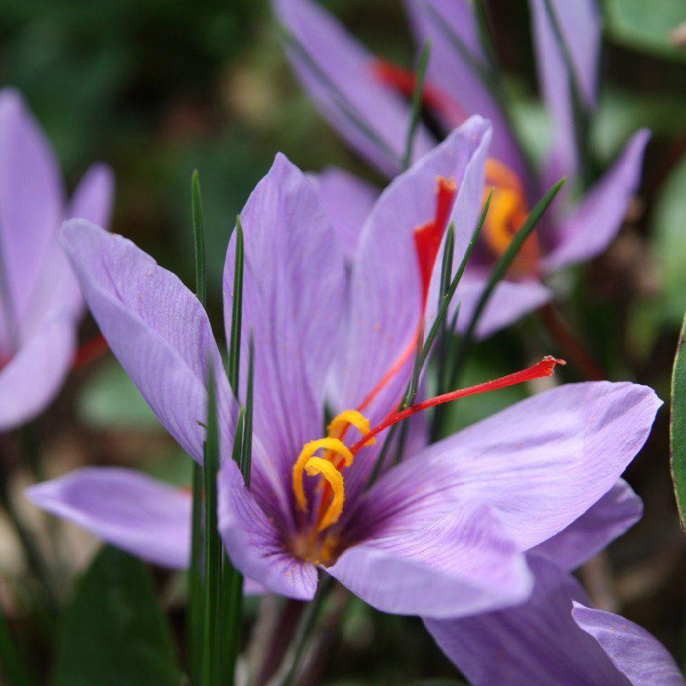 Crocus Sativus (Saffron Crocus) | Saffron crocus, Crocus ...