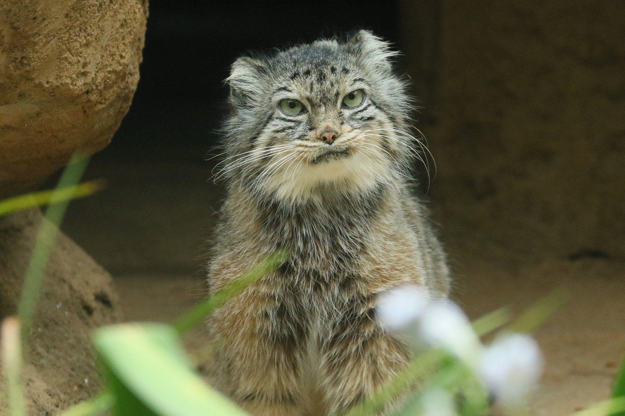 Pallas's Cat Small wild cats, Pallas's cat, Wild cats