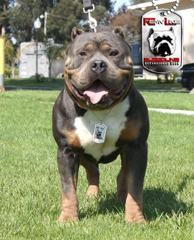 Champion Remyline American Bullies For Sale Bully Breeds Dogs