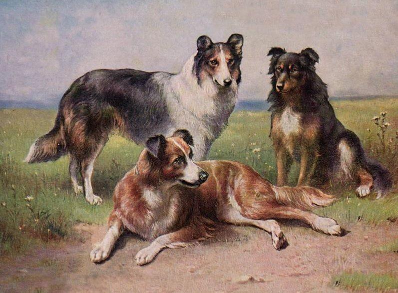 Otsc Three Early Collie Types Collie English Shepherd