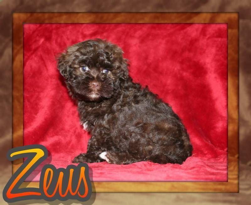 Zeus Male Akc Havanese 400 Havanese Puppies For Sale Havanese