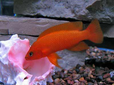 Orange Leleupi Cichlid Cichlids African Cichlids Fish Tank