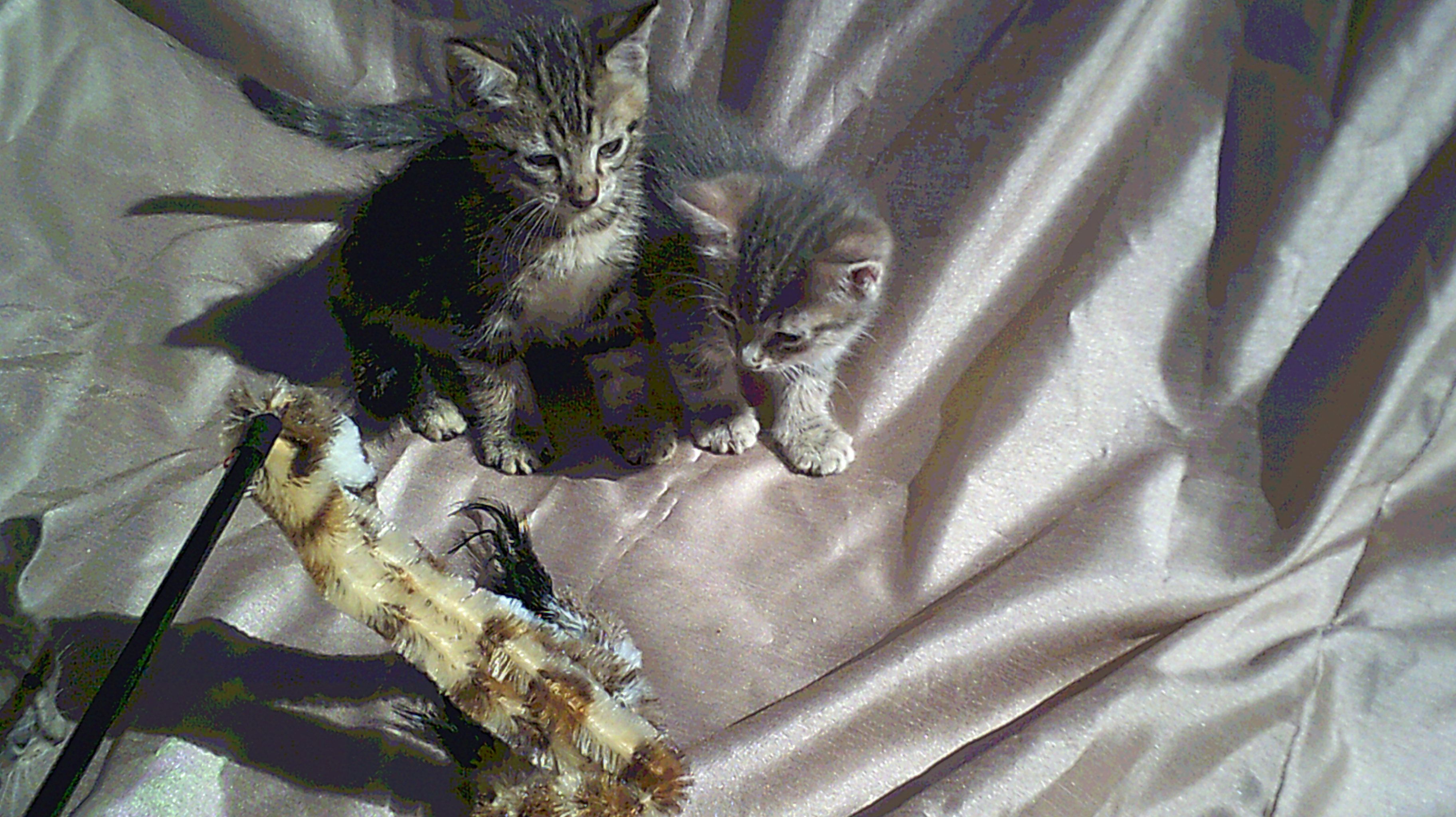 Sorrel Serenity S May 14 2018 Kittens 2 Males 1 Female As They